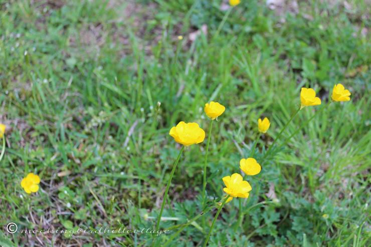 5-19 buttercups