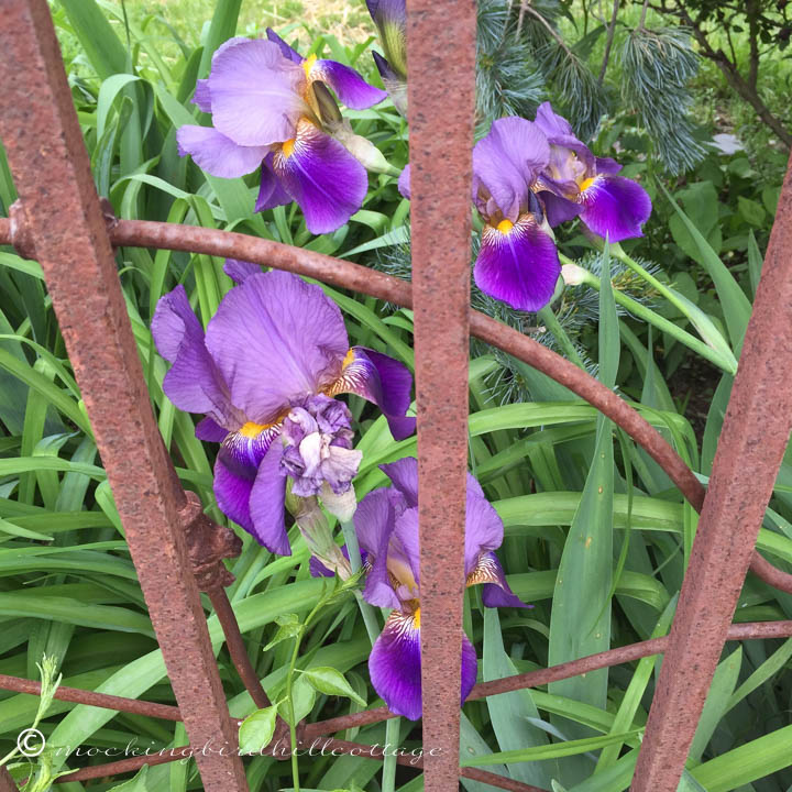 5-23 irises