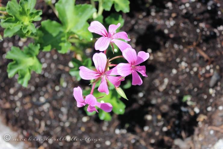 5-26 geranium