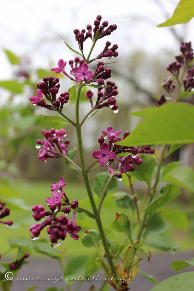 5-4 wet lilacs