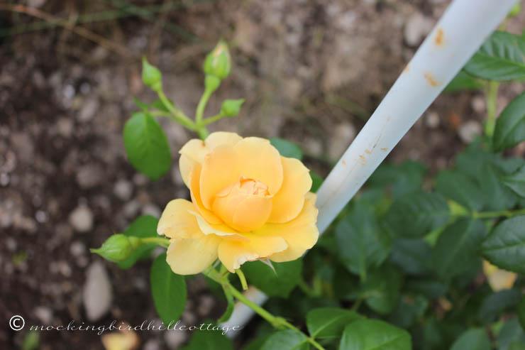 6-11 rose