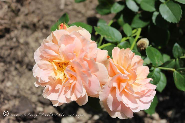 6-17 rosesatlast