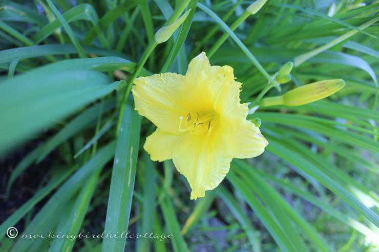 6-19 yellowdaylily