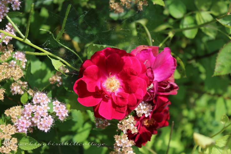 6-22 rosesandspirea