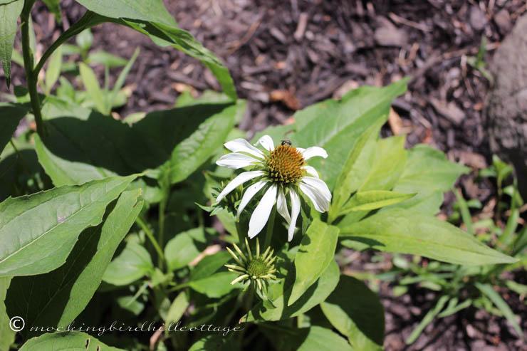 6-27 whiteconeflowerwithbug