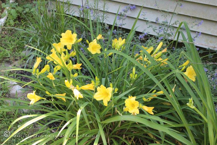 6-27 yellowdaylilies