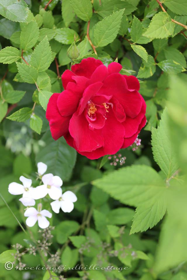 6-5 rose2