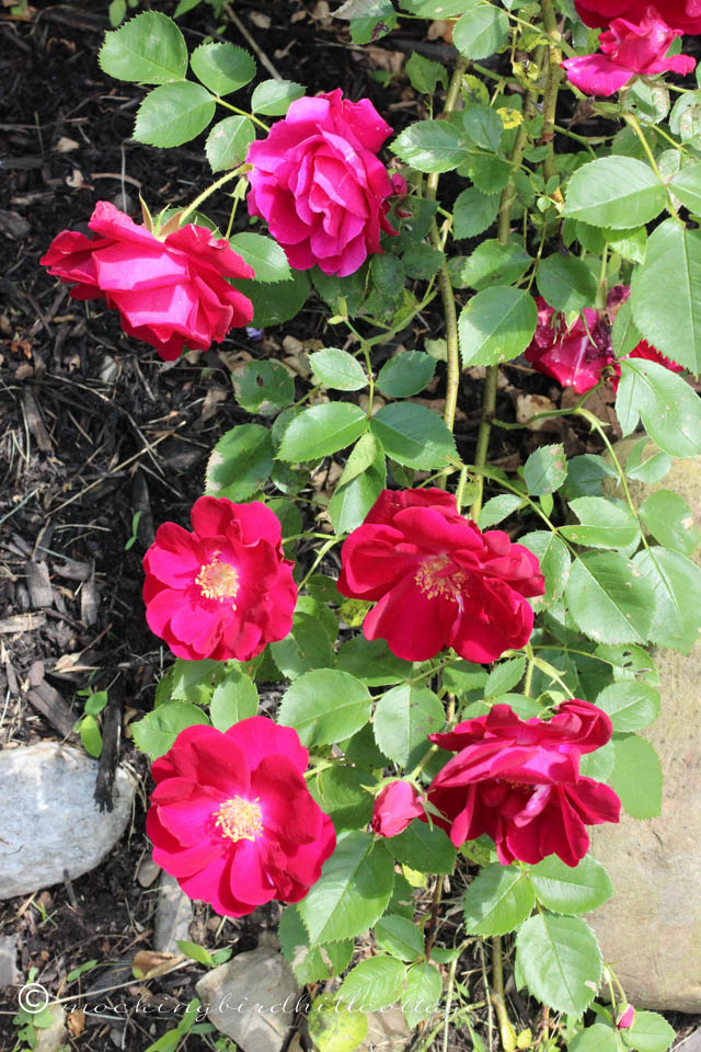 6-8 redroses