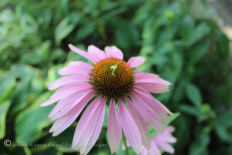 7-16 greenbugonconeflower