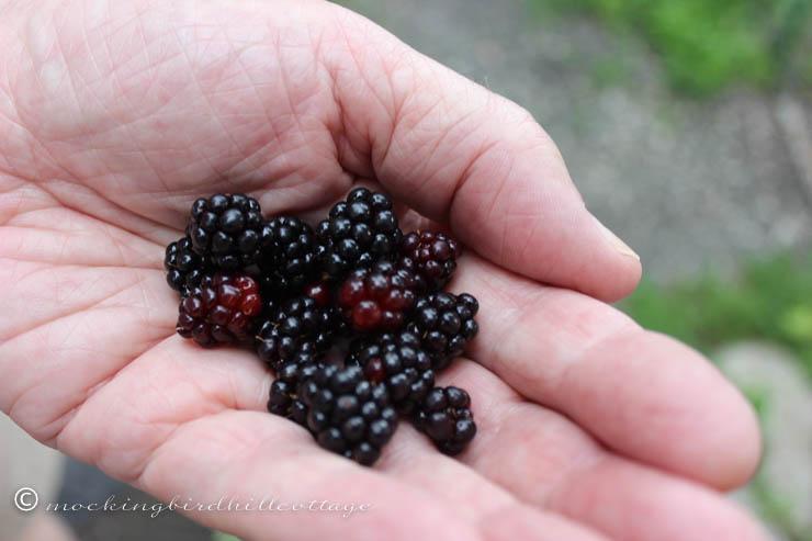 7-16 wildblackraspberries