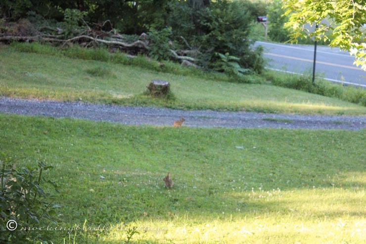 7-18 bunniesonthelawn