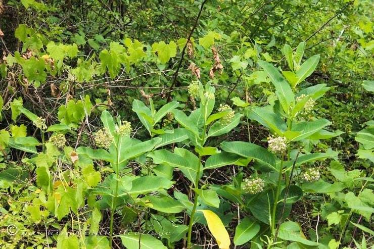 7-2 milkweed