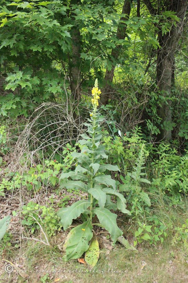 7-2 mullein plant