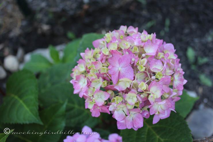 7-21 pinkishhydrangea