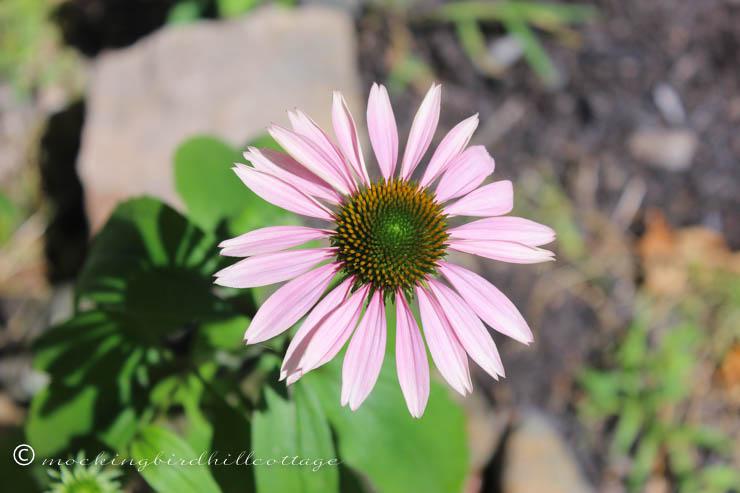 7-7 purpleconeflower1