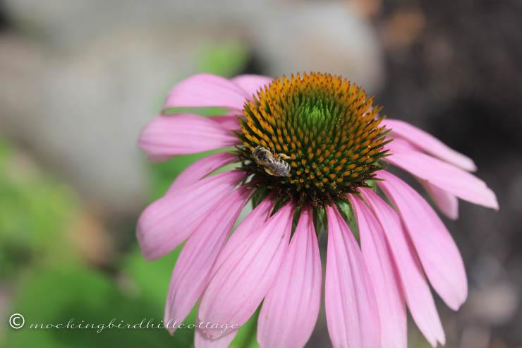 7-8 beeonconeflower