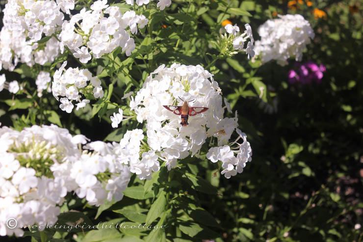 8-10 hummingbirdmoth