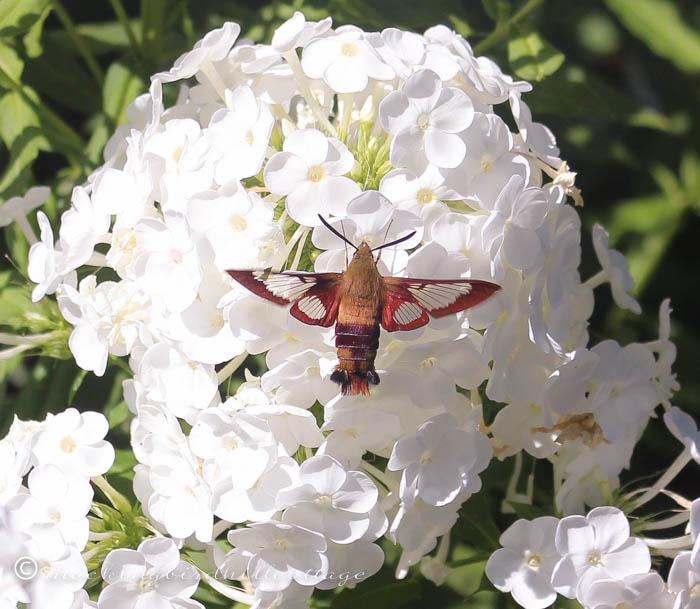 8-10 hummingbirdmothcloseup