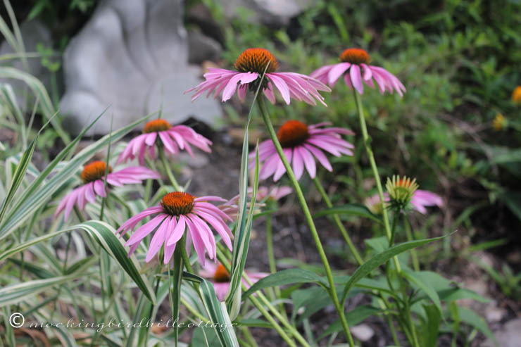8-15 coneflowers-LifesDHA