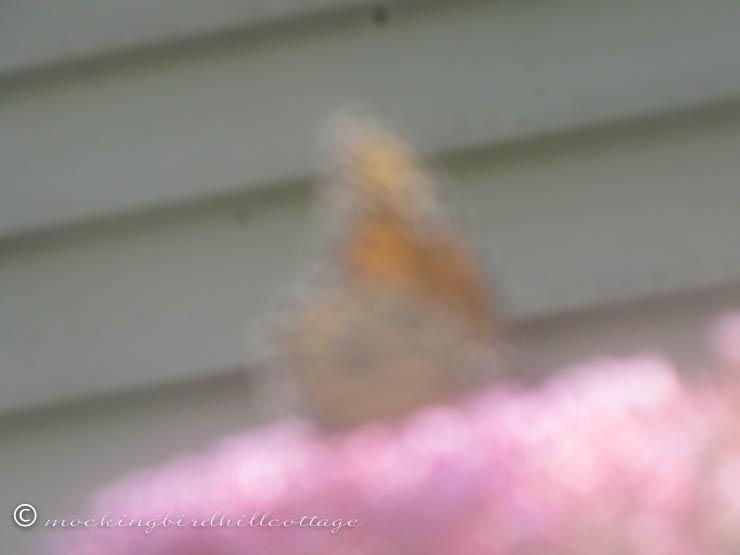 8-17 blurrymonarchbutterfly