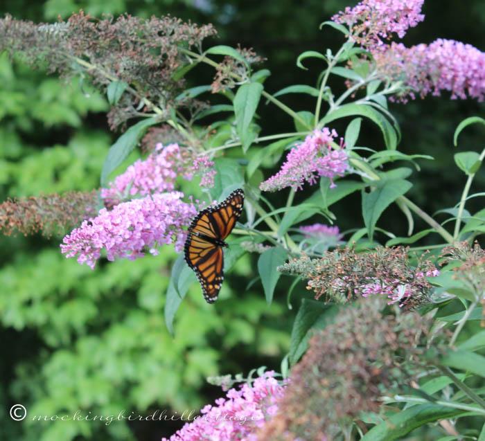 8-18 monarch2