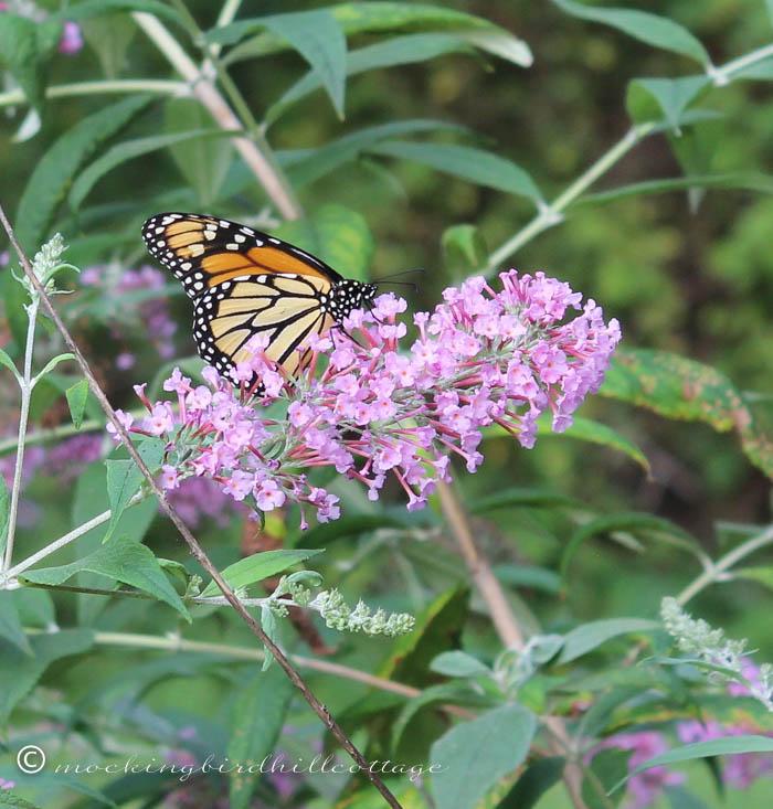 8-18 monarch3a