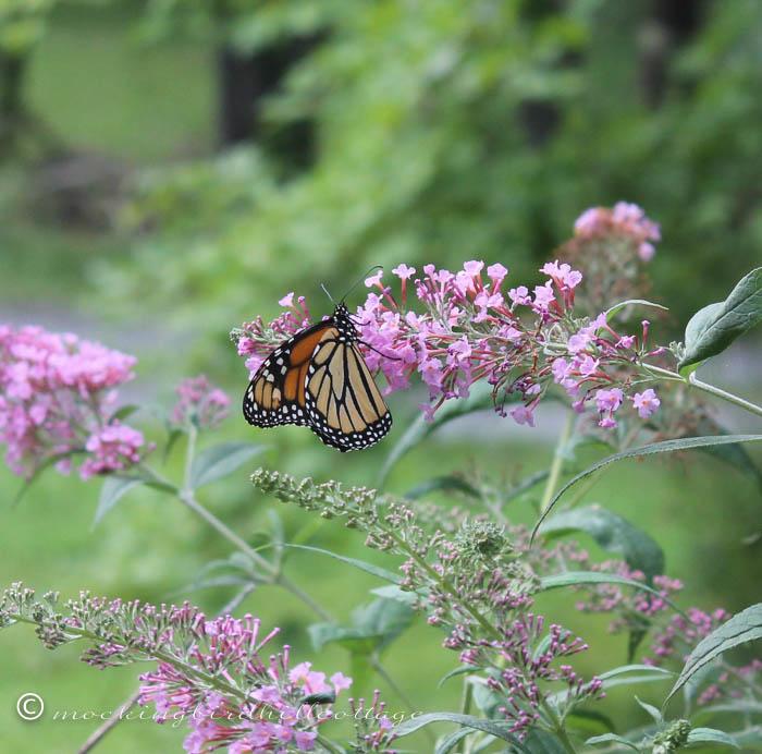 8-18 monarch4