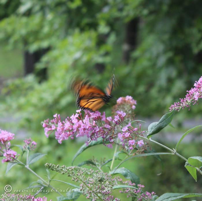 8-18 monarch5