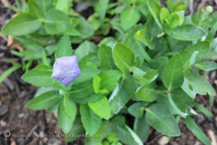 8-29 scentimentalballoonflower