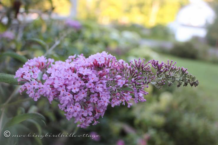 8-4 butterflybush