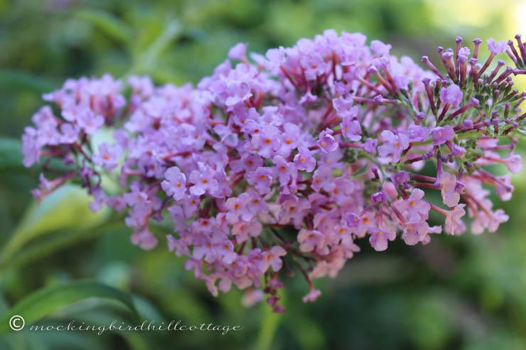 8-5 butterflybushpurple
