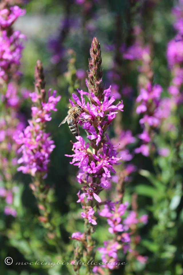 8-5 purpleloosestrifebee1