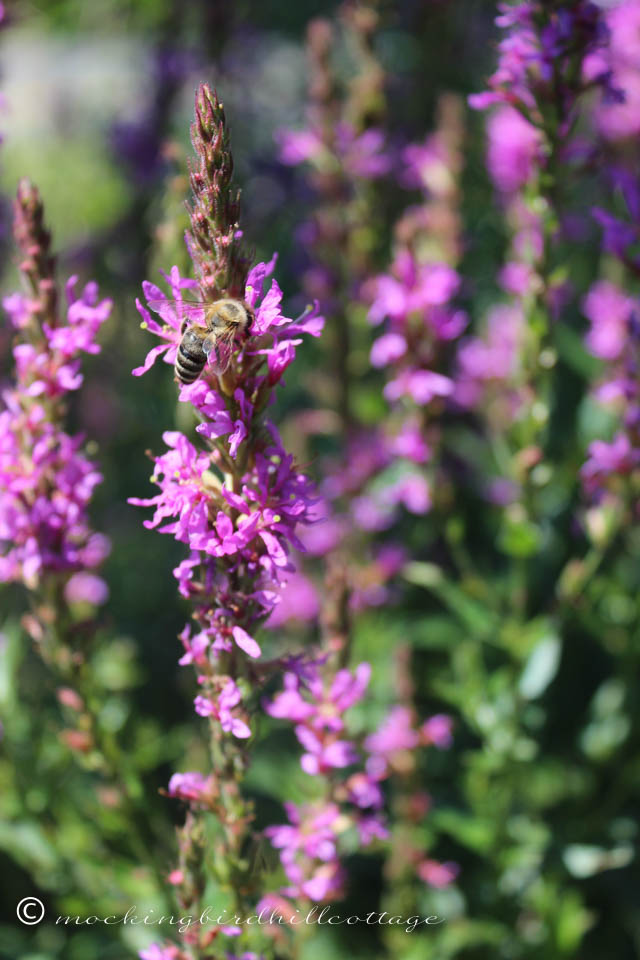 8-5 purpleloosestrifebee2