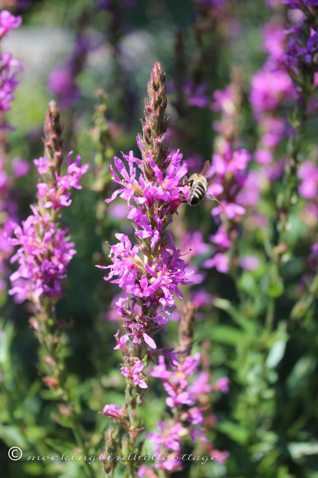 8-5 purpleloosestrifebee3