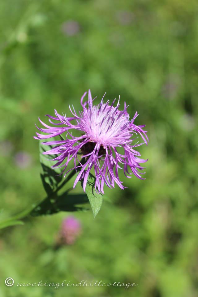 8-5 purplewildflower2