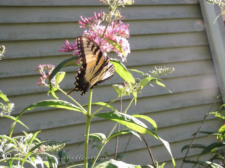 8-9 butterfly2