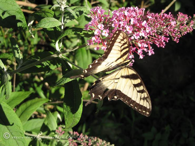 8-9 butterfly4