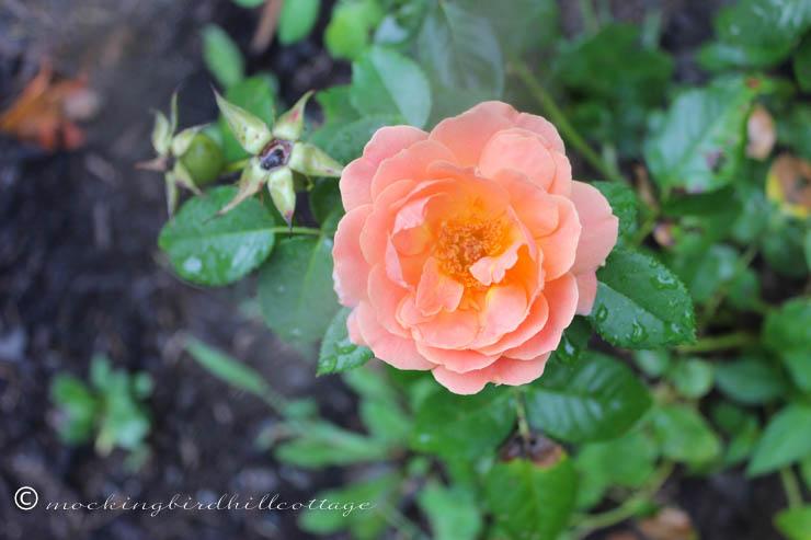 9-1 rose