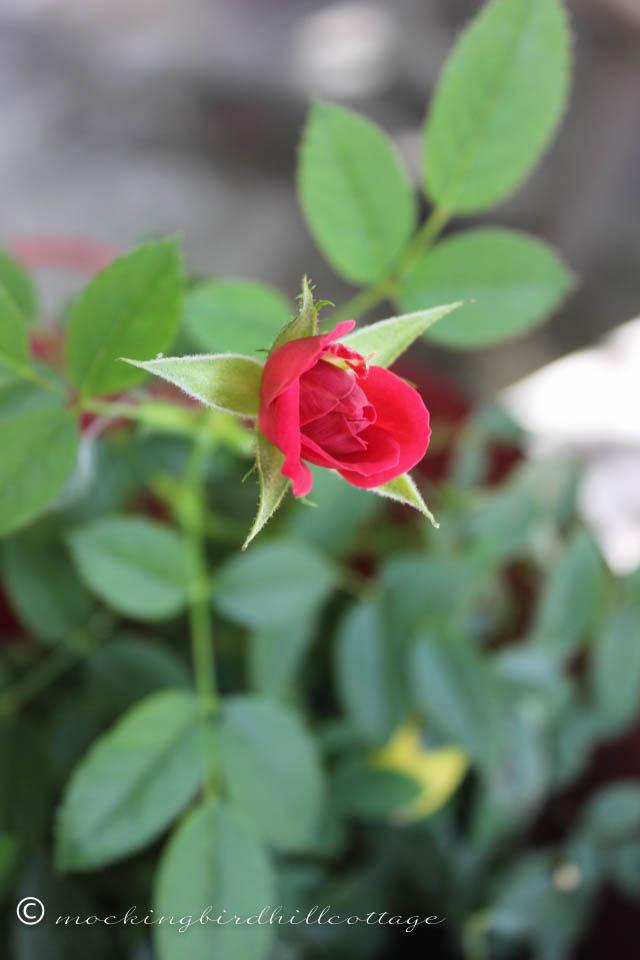 9-14-little-rose