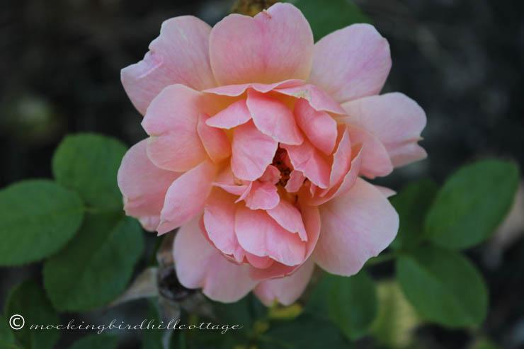 9-15-rose