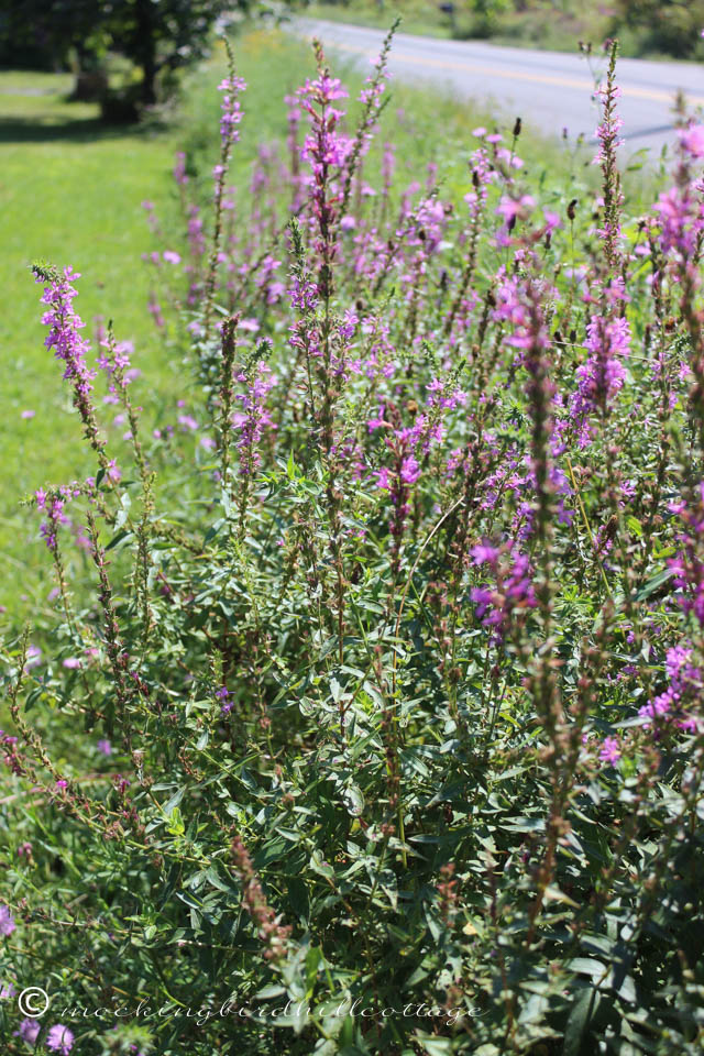 9-2 loosestrife2
