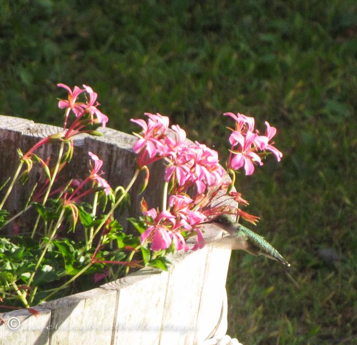 9-22-hummingbird