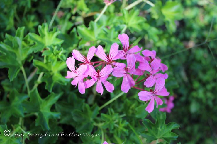 9-8-geranium