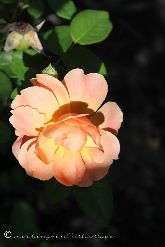 9-9-rose