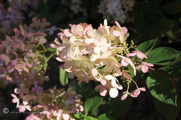 10-15-limelighthydrangea1