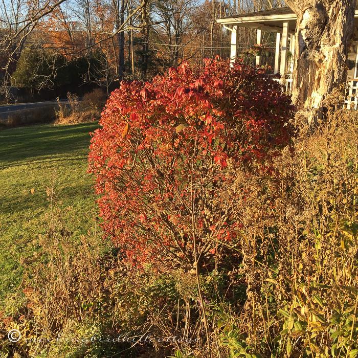 11-12-redbush
