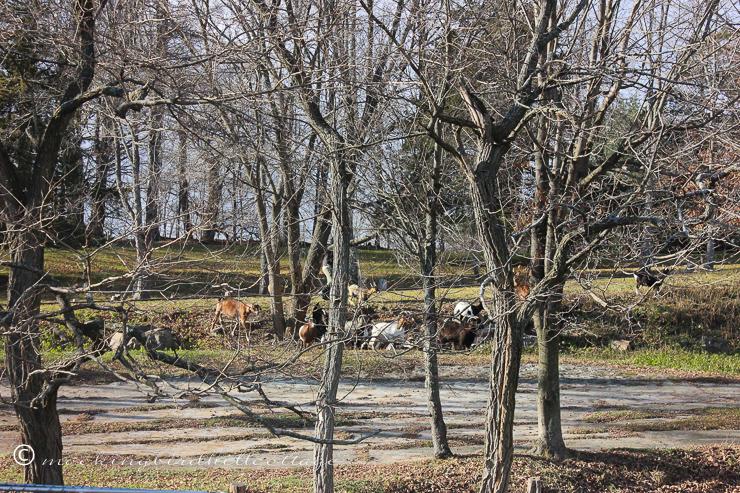 12-3-goatscomingback